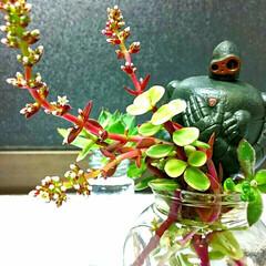 インテリア/多肉植物/水耕栽培/巨神兵 水耕栽培多肉ちゃん、花を咲かせました~✨