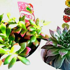 植物のある暮らし/植物/園芸/多肉植物がある暮らし/多肉/多肉植物/... 昨日、実家に行くと、新しい多肉植物が仲間…