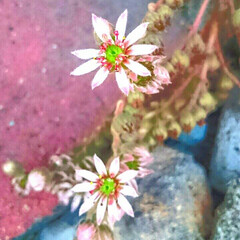 寄せ植え 七月から咲きそう咲きそうといっていた、セ…