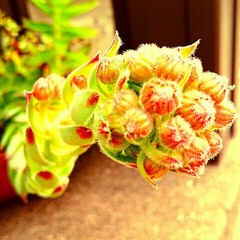 寄せ植え ニョキニョキのびた多肉ちゃん、ついに花を…