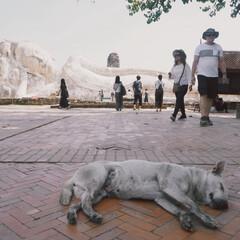 仏像/涅槃/アユタヤ/海外旅行/犬/風景/... 寝そべった仏像とお昼寝中の犬💤  アユタ…