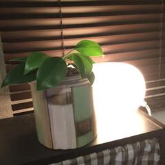 キャンドゥ/観葉植物 100円で買った観葉植物が大きくなってき…