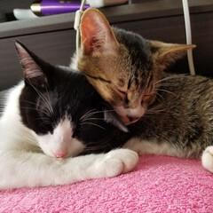 にゃんこ大好き❤️/にゃんこ成長記録/兄妹仲良し/きょうだい猫/キジ白猫/白黒ネコ/... 寄り添ってお昼寝💤 仲良し兄弟🐱🐱💕