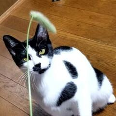 初めての猫じゃらし/にゃんこ成長記録/にゃんこ3兄妹/仲良しにゃんこ🐱/にゃんこ大好き❤️/LIMIAファンクラブ/... 生まれて初めての猫じゃらし🌿 めっちゃ夢…(3枚目)