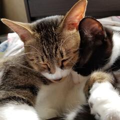 お昼寝タイム/成長記録/にゃんこ大好き❤️/仲良し兄弟猫/令和の一枚/LIMIAファンクラブ/... 今日も兄弟😺仲良くお昼寝中💤