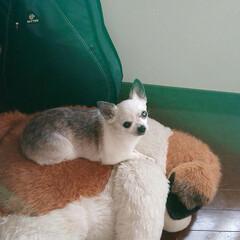チワワ/保護犬 はなちゃんです セントバーナードのヨーゼ…