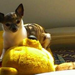 チワワ/保護犬 はなちゃんです プーさんもあたちの子分で…