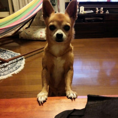チワワ/保護犬 ちこちゃんです ママだけ美味しい物食べて…