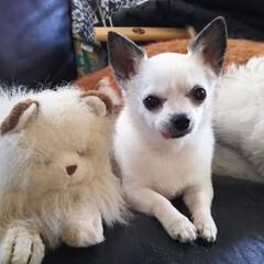 チワワ/保護犬 はなちゃんです お友達を紹介します ネコ…