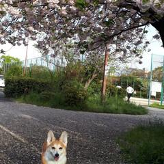 コーギー 何桜?八重桜?綺麗でした😊🐶