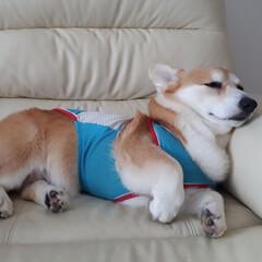 コーギー ソファーのひじ掛けが枕がわり💤💤💤🐶
