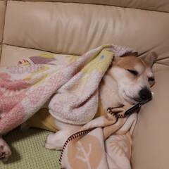コーギー 爆睡💣💤
