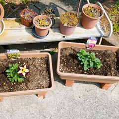 花植え/多肉ちゃん/緑のある暮らし/ガーデニング/庭のお手入れ/4月の天気のいい日曜日 やっと春らしい季節になったので、庭のお手…(4枚目)