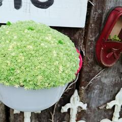 庭園/ガーデニング/多肉植物/モコモコ/グリーン/DIY/... モコモコ大好き🍀😌🍀 買って来たときは今…