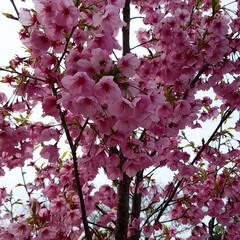 春よ来い/さくら坂/松島/長崎/さくら/春の一枚 このピンクのさくら🌸めっちゃきれい😍 よ…(2枚目)