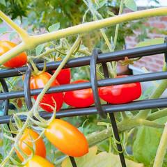 収穫/家庭菜園/オクラ/トマト/住まい おはようございます😊🏡🌻 トマト🍅収穫に…