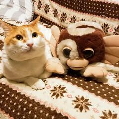 仲良しギズモ/きなこ😸/LIMIAペット同好会/猫/にゃんこ同好会/住まい きなこ😸の相棒ギズモ しれっと接触してる…