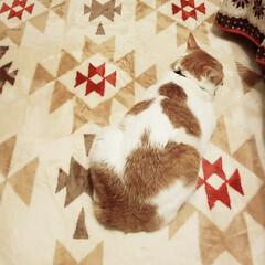 ペット/猫/にゃんこ同好会/住まい 😸カーペットと一体化しとる😄😄😄  おか…