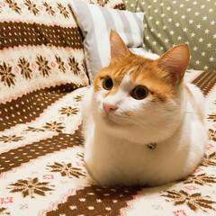 にゃんこ先生/猫のいる暮らし/きなこ/ペット/猫/にゃんこ同好会/... この感じが好き(#^.^#) 丸めショッ…