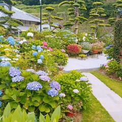 紫陽花/実家の庭 お隣の実家です。 紫陽花がめっちゃ綺麗で…