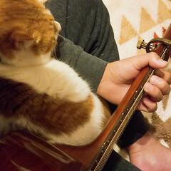 ねこ好き/甘えん坊将軍/きなこ/ペット/猫/にゃんこ同好会/... 久しぶりにギター練習してたら、すぐさま膝…(2枚目)