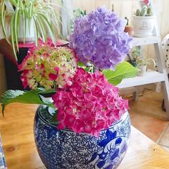生花/6月/紫陽花/令和元年フォト投稿キャンペーン/令和の一枚 実家の紫陽花持って生てみました。😊💕紫陽…