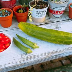 キュウリ/オクラ/トマト/家庭菜園/おうちごはん おはようございます😊🏡🐤🐤🐤本日の収穫🍅…