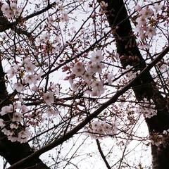 春よ来い/さくら坂/松島/長崎/さくら/春の一枚 このピンクのさくら🌸めっちゃきれい😍 よ…(3枚目)