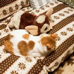 仲良しギズモ/きなこ😸/LIMIAペット同好会/猫/にゃんこ同好会/住まい きなこ😸の相棒ギズモ しれっと接触してる…(2枚目)