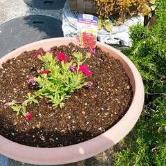 花植え/多肉ちゃん/緑のある暮らし/ガーデニング/庭のお手入れ/4月の天気のいい日曜日 やっと春らしい季節になったので、庭のお手…(3枚目)