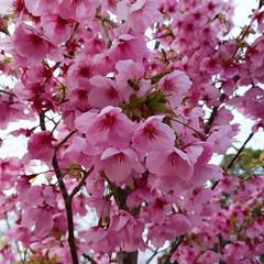 春よ来い/さくら坂/松島/長崎/さくら/春の一枚 このピンクのさくら🌸めっちゃきれい😍 よ…