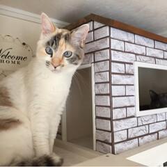 人気/猫の家/キャットハウス/猫/フォロー大歓迎/LIMIAペット同好会/... リビングにDIYした飾り棚の1番上に こ…