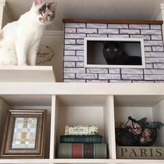 人気/猫の家/キャットハウス/猫/フォロー大歓迎/LIMIAペット同好会/... リビングにDIYした飾り棚の1番上に こ…(2枚目)