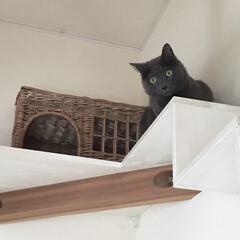 籐/キャットハウス/ペントハウス/キャットウォーク/ペット/猫/... DIYしたキャットウォークの 1番高い所…
