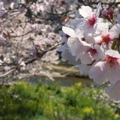 枝垂れ桜/サクラ/花見日和/桜/平成最後の一枚/春のフォト投稿キャンペーン/... ウォーキング途中の撮影。 春になると長く…(2枚目)