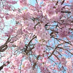 枝垂れ桜/サクラ/花見日和/桜/平成最後の一枚/春のフォト投稿キャンペーン/... ウォーキング途中の撮影。 春になると長く…(1枚目)