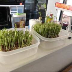 豆苗/豆苗栽培容器/秋 豆苗 めっちゃ繁殖 刈って3日でたいな伸…(3枚目)