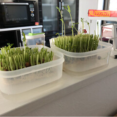 豆苗/豆苗栽培容器/秋 豆苗 めっちゃ繁殖 刈って3日でたいな伸…(2枚目)