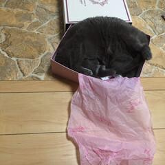 猫 娘の靴箱に無理矢理収まってる😂