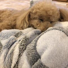おやすみショット ふかふかの毛布の上でスヤスヤお眠り