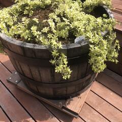 ガーデニング/花 11月にウイスキー樽に植え付けたペトリエ…
