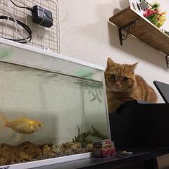 マンチカン/猫 めっちゃ見てる。。