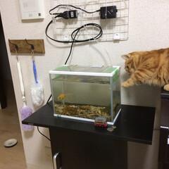 マンチカン/猫 命の危機!