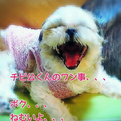 うちの子ベストショット/シーズー犬/チビ公/令和の一枚/LIMIAペット同好会/わんこ同好会/...