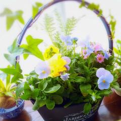 春を見つけました/春の花/ビオラ/アイビー/パステルカラー/春/... 春を迎えたい‼️🌸 春を見つけました‼️