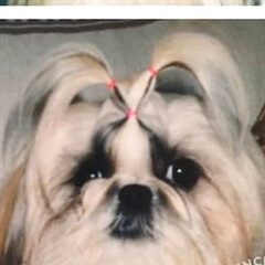 "Instagram/facebook/minneにて販売中/ラクマ/メルカリ/絵描き/... シーズー犬""〆(^∇゜*)♪5匹開始~ …(2枚目)"