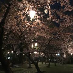 グリーン お花見🌸夜桜🌸