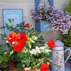 ベランダDIY/青空ガーデン/花が好き/花のある暮らし/ベランダガーデニング/LIMIAインテリア部 おはようございます🎵 青空が戻った、昨日…(3枚目)