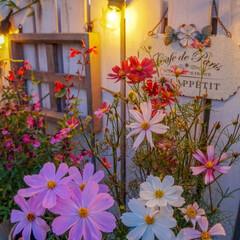 花のある暮らし/ライトアップ/コスモス/ルーフバルコニー/ガーデニング/ベランダガーデニング ガーデンライトで照らされたコスモス🌸 可…