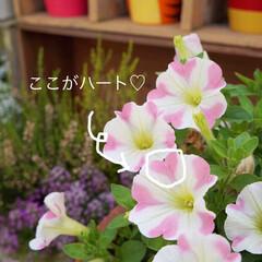ベランダガーデニング/花のある暮らし/花が好き/春のフォト投稿キャンペーン 1週間前のサフィニアアートが あっという…(3枚目)